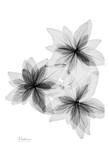 Bloom Explosion in Black and White Print by Albert Koetsier
