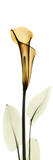 Calla Lily in Gold Prints by Albert Koetsier