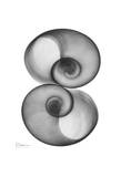Moon Snail in Double Prints by Albert Koetsier