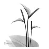 Flamingo Plant Black and White Affischer av Albert Koetsier