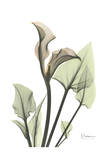 Calla Lily in Green Prints by Albert Koetsier