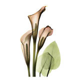 Calla Lilly Prints by Albert Koetsier