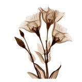 Gentian in Sienna Print by Albert Koetsier