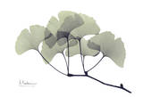 Ginkgo Leaves in Green Poster von Albert Koetsier