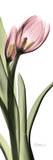 Tulip in Color I Art by Albert Koetsier