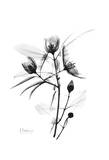 Delicate Buds in Black and White Art by Albert Koetsier