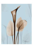 Calla Lily Brown on Blue II Prints by Albert Koetsier