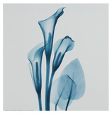Calla Lilly Blue Prints by Albert Koetsier