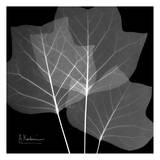 Tulip Tree Close Up Black and White Poster by Albert Koetsier