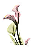 Calla Lily in Pink Posters by Albert Koetsier