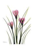 Pink Spring Crocus Posters by Albert Koetsier
