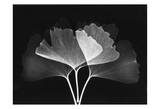 Ginkgo Leaves Close Up on Black II Prints by Albert Koetsier
