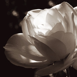 White Rose II Prints by Malcolm Sanders