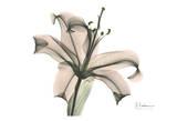 Lily in Pink Prints by Albert Koetsier