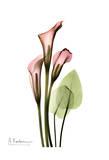 Calla Lily Bouquet in Pink Poster von Albert Koetsier