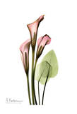Calla Lily Bouquet in Pink Prints by Albert Koetsier