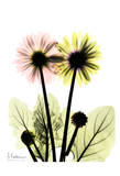 Gerbera in Color Prints by Albert Koetsier