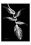 Heliconia Black and White on Black Poster by Albert Koetsier