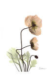 Iceland Poppy in Color Prints by Albert Koetsier