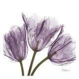 Tulips Purple Trio Affiches par Albert Koetsier
