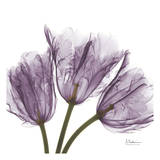 Tulips Purple Trio Prints by Albert Koetsier