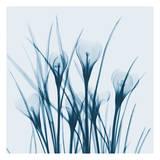 Crocus Blue Art by Albert Koetsier