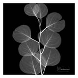 Albert Koetsier - Eucalyptus on Black Plakát