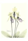 Lovely Orchids II Prints by Albert Koetsier