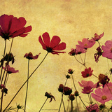 Country Poppies Prints