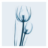 Tulip in Blue Posters by Albert Koetsier