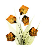 Albert Koetsier - Sandersonia Bunch in Gold - Poster