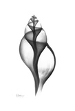 Tulip Shell in Black and White Poster by Albert Koetsier