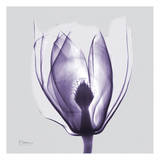 Purple Tulip Bud on Purple Posters by Albert Koetsier