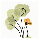 Nasturtium Prints by Albert Koetsier