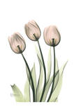 Three Pale Pink Tulips Prints by Albert Koetsier