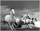 White Stallions Póster