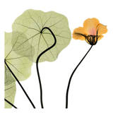 Nasturtium Close Up Print by Albert Koetsier