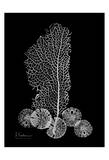 Sea Fan and Sand Dollar on Black Posters by Albert Koetsier