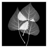 Leaves Trio Black and White Prints by Albert Koetsier