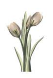Tulip Pair in Color Posters by Albert Koetsier
