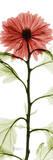 Red Chrysanthemum Print by Albert Koetsier