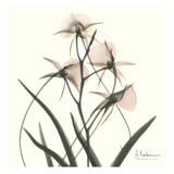 Orchid Bouquet in Pink Posters by Albert Koetsier