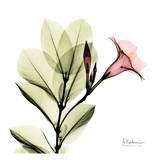 Madelia in Pink Plakat autor Albert Koetsier