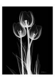 Sweet Tulips on Black Posters by Albert Koetsier