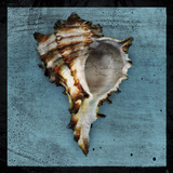 Horned Whelk Posters by John Golden