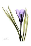 Purple Crocus Print by Albert Koetsier