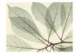 Magnolia Leaf Close Affiche par Albert Koetsier