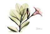Pink Mandelila Print by Albert Koetsier