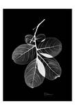 Myrtle Leaves on Black Print by Albert Koetsier