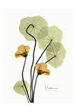 Nasturtium in Yellow II Prints by Albert Koetsier